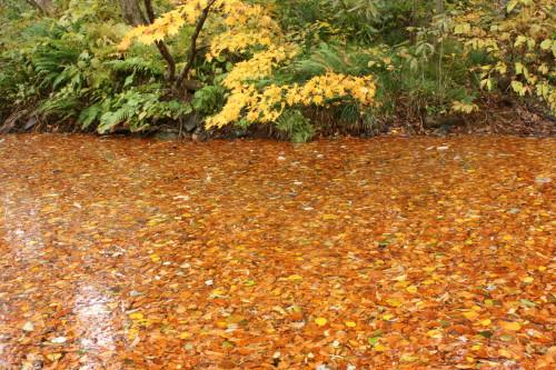 五月池を覆う落ち葉 無数の落ち葉が五月池の水面を覆っていました。この無数の落ち葉に森の豊か...